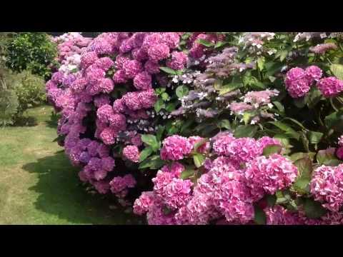 C psula de jardiner a las hortensias cuidados y for Hortensias cultivo y cuidados