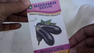 Growing Eggplant In Container | How To Plant Brinjal Seeds | Brinjal Plant Part-1 (Urdu/Hindi)