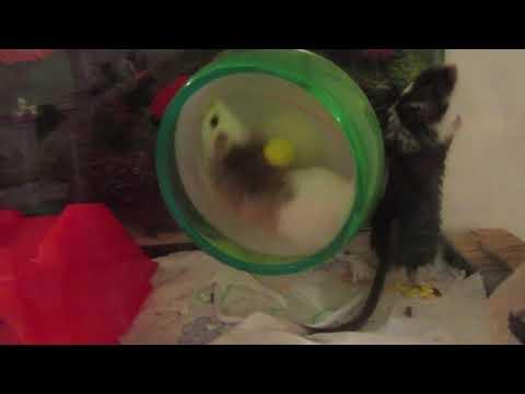 ASF Rat And Gerbil Living Together →Read Description↓