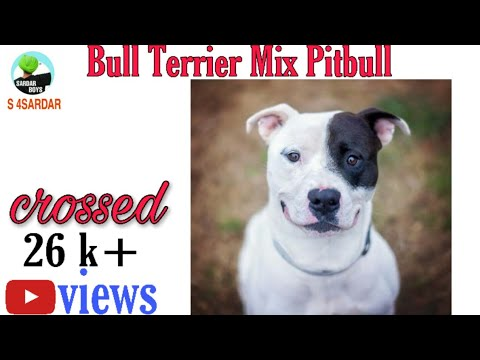 Bull Terrier mix Pitbull Puppy