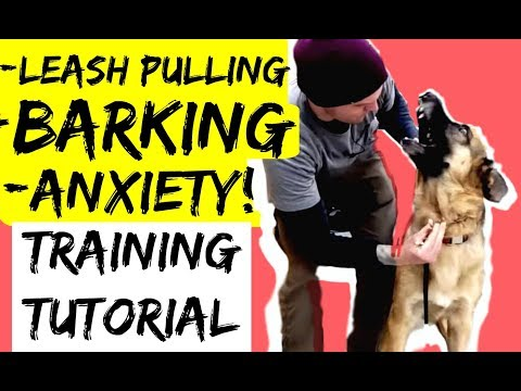 How to Train a Leash Pulling Aggressive Anxious German Shepherd Dog with a Prong Collar