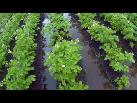выращивание картошки на крайнем севере дача под Архангельском