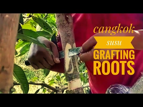 grafting mango trees ... with the roots of trees   (cangkok susu)