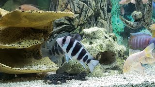 HOW I RELIEVE MY STRESS W AFRICAN CICHLID FISH THERAPY
