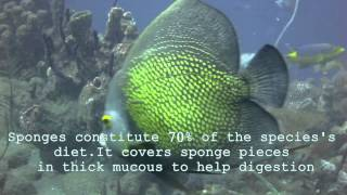 Diving in Saint Vincent - Caribbean Sea Creatures - French Angelfish
