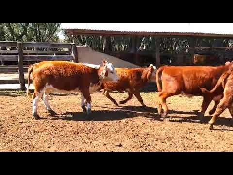 LOTE D01 - 15 TERNEIRAS PESO MÉDIO 231 KG - AGROPECUÁRIA BELA VISTA