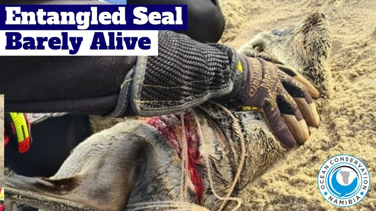 [GRAPHIC] Entangled Seal Barely Alive