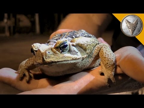 The Cane Toad Challenge! - Searching for Giant Toads