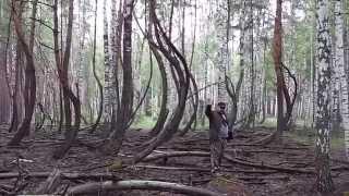 танцующий лес в Шиловском районе Рязанской области