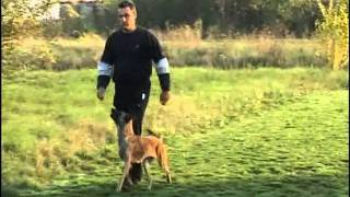Belgian Malinois Obedience Training - Clicker Training - Walk Without A Leash