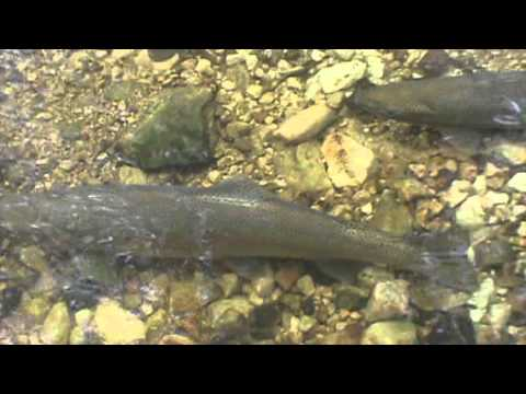 how to catch spawning rainbow trout