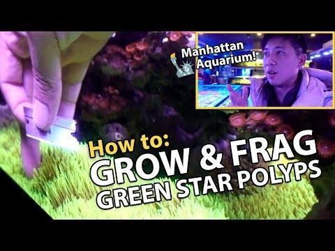 CARPETING Green Star Polyps {GROWTH TIPS!!}, Manhattan Aquarium