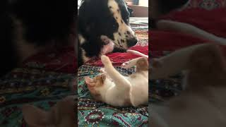 Dog Plays With His Cat Brother by Nuzzling on His Belly - 993909