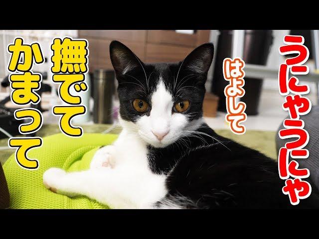 【猫 鳴き声】うにゃうにゃが止まらない!喋りながら甘えてくる猫がかわいい
