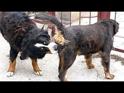 Брачные игры бернских зенненхундов Грея и Азы. Bernese Mountain Dogs Gray and Aza.