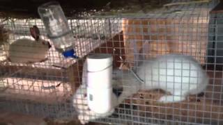 meat rabbit setup in oz part 3 1st breeding
