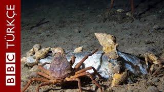 Kuzey Kutbu'nda okyanus dibindeki yaşam - BBC TÜRKÇE