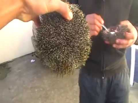 KINA - How to eat Kinas NZ - (Sea Urchin) hes eating his own kind! New Zealand