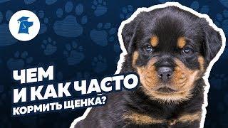 Чем и как часто кормить щенка