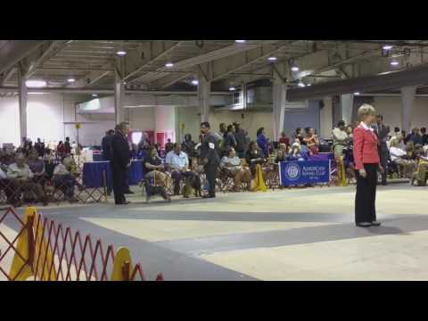 Welsh Terrier Winner at AKC Championship - Raleigh, NC 2017