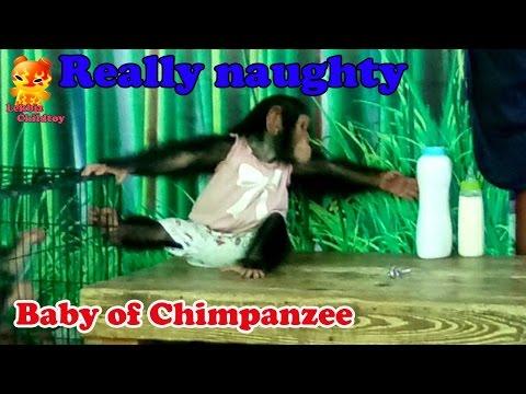 Really Naughty Baby Of Chimpanzee @Samutprakarn Zoo