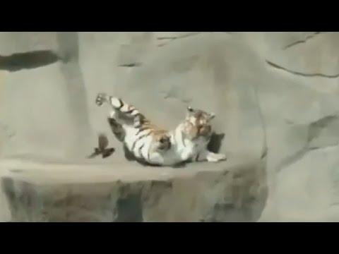 Тигр испугался птички