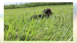 Yorkie Maltese Cross Puppy-morkies| Benson-boomer-chloe-cody-maggie