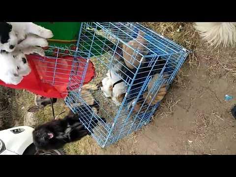 Petshop - WHOLESALE dog market shitzu ,lhasa apso puppy {INDIA} DOGGYZ WORLD