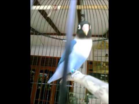 Lovebird biru - photo#15