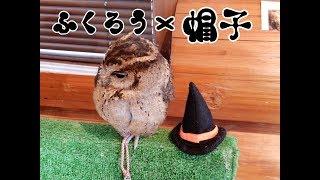 ふくろうカフェRicky秋田店のフクロウ達の頭に小さな帽子をちょこんと乗...