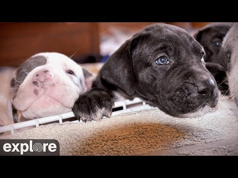 Great Danes Indoor Puppy Room - Service Dog Project powered by EXPLORE.org