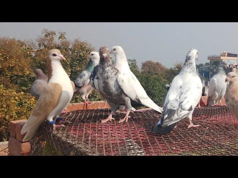 takla atan güvercin nasıl anlaşılır