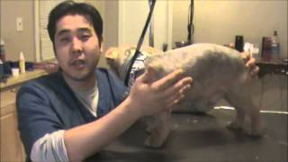 Grooming An Aggressive Yorkie (yorkshire Terrier): Part 4 - Final