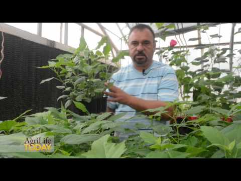 Winter-hardy Hibiscus by Texas A&M AgriLife Research