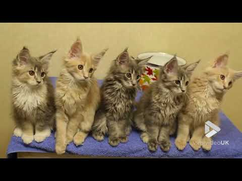 Maine Coon Kittens Rocking || Viral Video UK