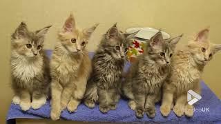シンクロ率400%なメインクーンの子猫たち(動画)