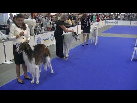 Borzoi Euro dog show 2017 in Kiev Ukraine