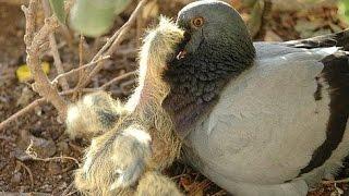 Голуби - Птенцы голубей - Кормление маленьких голубят - Голубиная сага  - 3 серия