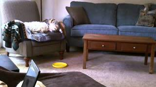 One Westie And Two Jack Russell Terriers At Home - 2 / 2