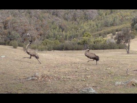 Masked lapwing vs Emu