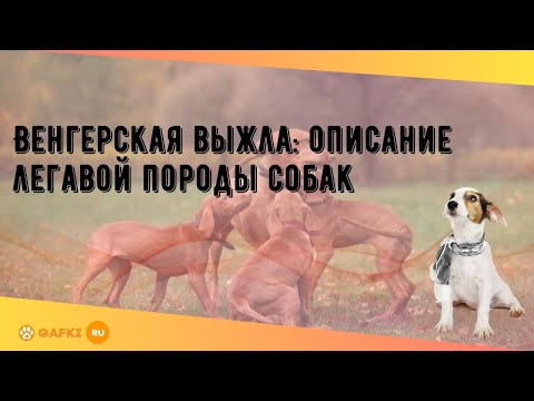 Венгерская выжла: описание легавой породы собак