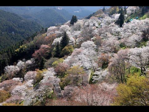 A journey to Yoshino (Japanese blossom mountain)