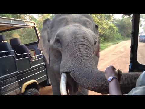 Tusker Elephant in Yala Sri Lanka Approaches Safari Jeep with Tourists Looking for Food