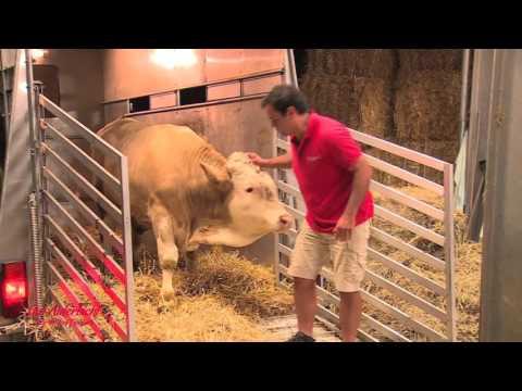 Salvano un Toro da una vita di Abusi, guardate la sua incredibile reazione!