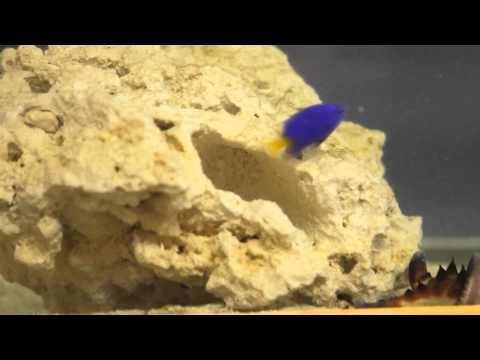 Yellowtail Blue Damselfish - Fierce Defender Of Eggs