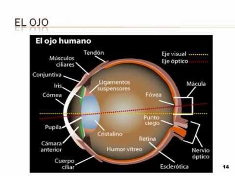 Anatomía del ojo y oído. básico. - YouTube