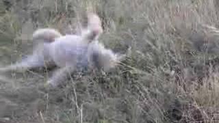 Ulane, Mon Border Terrier, S'éclate Dans Les Dunes