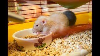 Новые крысята дамбо