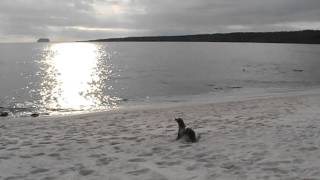Galapagos Islands Baby Sea Lion Calling for His Family