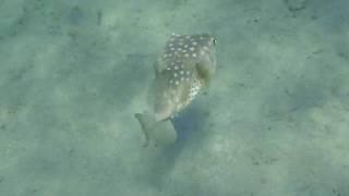 рыба - еж в Красном море.